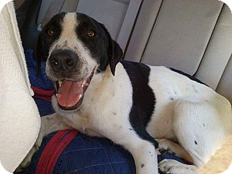 Labrador Retriever/Border Collie Mix Dog for adoption in Manchester, New Hampshire - Cher - pending