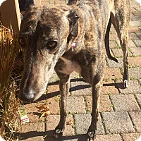Greyhound Dog for adoption in West Babylon, New York - Superior Sugar