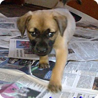 Hound (Unknown Type) Mix Puppy for adoption in Akron, Ohio - 'N SYNC Litter: Justin