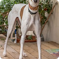 Greyhound Dog for adoption in Walnut Creek, California - Elgin