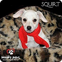 Adopt A Pet :: Squirt - Council Bluffs, IA