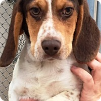 Beagle/Basset Hound Mix Puppy for adoption in Oswego, Illinois - Linus