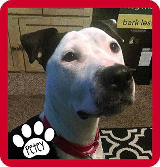 American Pit Bull Terrier Mix Dog for adoption in Des Moines, Iowa - Petey
