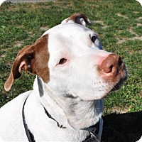 Hound (Unknown Type)/Terrier (Unknown Type, Medium) Mix Dog for adoption in Hyde Park, New York - Harley