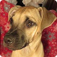 Adopt A Pet :: Joon! ADORABLE Puppy! - St Petersburg, FL