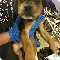 Adopt A Pet :: Cashew - WESTMINSTER, MD