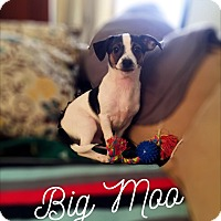 Adopt A Pet :: Big Moo - Fountain Valley, CA