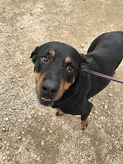 Rottweiler Mix Dog for adoption in Jackson, Mississippi - Selena