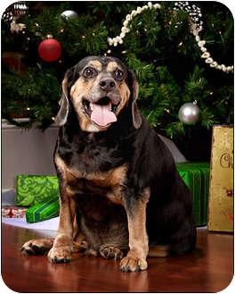 Beagle/Cocker Spaniel Mix Dog for adoption in Owensboro, Kentucky - Zeus