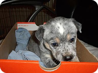 Australian Cattle Dog Mix Puppy for adoption in Phoenix, Arizona - Willow - Adoption Pending