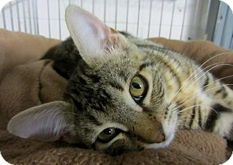 Domestic Shorthair Kitten for adoption in Mobile, Alabama - Lina