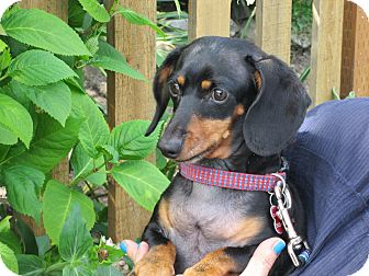 Dachshund Dog for adoption in Portland, Oregon - CONNOR