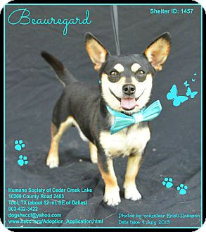 Chihuahua Mix Dog for adoption in Plano, Texas - Beauregard