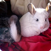 Adopt A Pet :: Piglet & Layla - Virginia Beach, VA