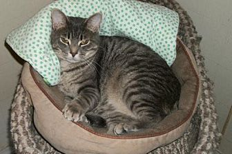 Domestic Shorthair Cat for adoption in Lacon, Illinois - Shadow