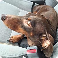 Adopt A Pet :: Preston - Decatur, GA