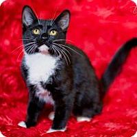 Adopt A Pet :: Mittens - Little Rock, AR