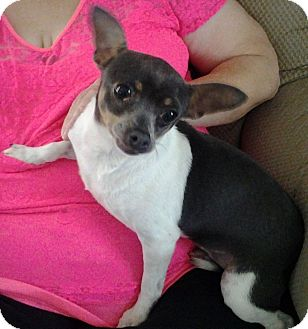 Chihuahua Dog for adoption in Nixa, Missouri - Chloe 781