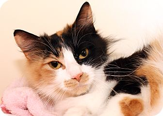 Domestic Longhair Cat for adoption in Royal Oak, Michigan - GIRLFRIEND