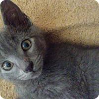 Adopt A Pet :: Merlin - Richmond, VA