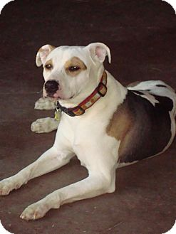 Hound (Unknown Type)/Pit Bull Terrier Mix Dog for adoption in Tucson, Arizona - Lulu