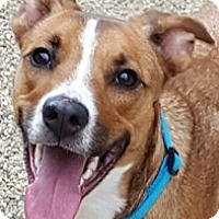 Adopt A Pet :: Belle - Bloomington, IL