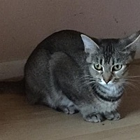 Domestic Shorthair Cat for adoption in Columbus, Ohio - Sapphire