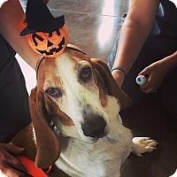 Basset Hound Dog for adoption in Charleston, South Carolina - Roxy