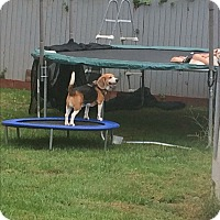 Beagle Dog for adoption in Piscataway, New Jersey - Charlie