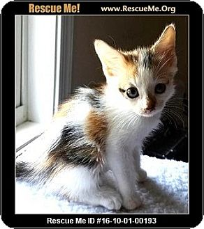 Calico Kitten for adoption in Waldorf, Maryland - Cleopatra