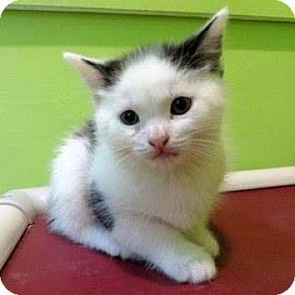 Siamese Kitten for adoption in Janesville, Wisconsin - Perseus