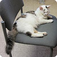 Domestic Shorthair Cat for adoption in Glenwood, Minnesota - Francis