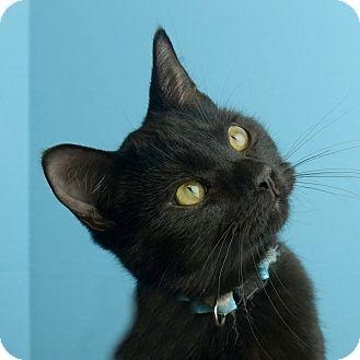Domestic Shorthair Kitten for adoption in Columbia, Illinois - Salem