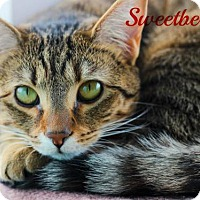 Domestic Shorthair Cat for adoption in knoxville, Tennessee - Sweetberry Female