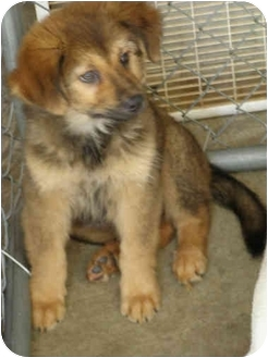 Bernese Mountain Dog/Leonberger Mix Puppy for adoption in stafford ...