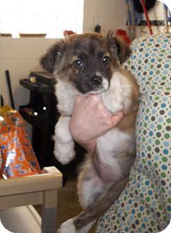 Abby Adopted Puppy Columbus Oh Australian Shepherd