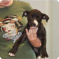 Adopt A Pet :: Jax - Rowlett, TX