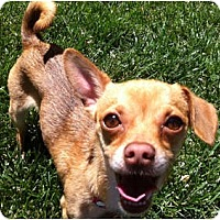 Adopt A Pet :: JujuBee Chiweenie - Concord, CA