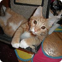 Adopt A Pet :: Ambra - Milwaukee, WI