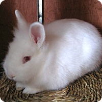 Lionhead Mix for adoption in Lompoc, California - Alba