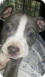 Pit Bull Terrier Mix Puppy for adoption in Framingham, Massachusetts - Laos