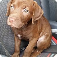 Adopt A Pet :: Caramel Macchiato - Gainesville, FL