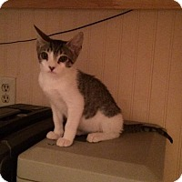 Domestic Shorthair Kitten for adoption in Slidell, Louisiana - Bugsy