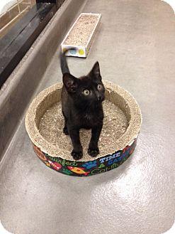 Domestic Shorthair Kitten for adoption in San Leandro, California - Zorro