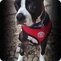 Boston Terrier/Boxer Mix Puppy for adoption in Van Vleck, Texas - Ollie