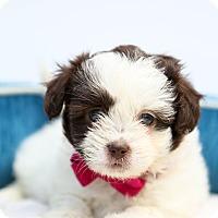 Adopt A Pet :: Macy - Auburn, CA