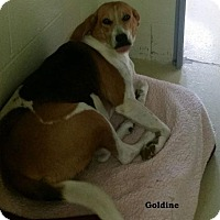 Adopt A Pet :: Goldine - Danbury, CT