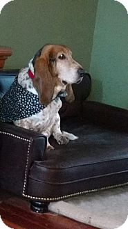 Basset Hound Dog for adoption in Barrington, Illinois - Chowder