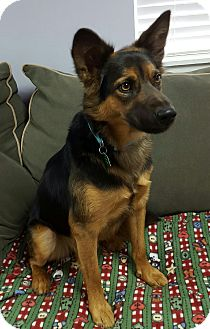 Shepherd (Unknown Type) Mix Dog for adoption in Hawk Point, Missouri - Pharaoh
