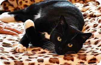 Domestic Shorthair Cat for adoption in Bristol, Connecticut - Mr. Snuggles